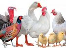 Veterinary preparations of poultry farming